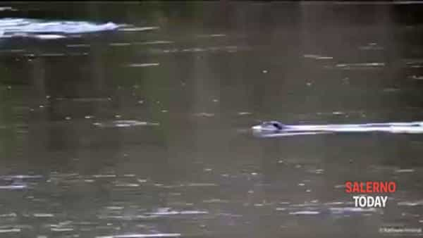 Il ritorno delle lontre nell'Oasi WWF di Persano: il video